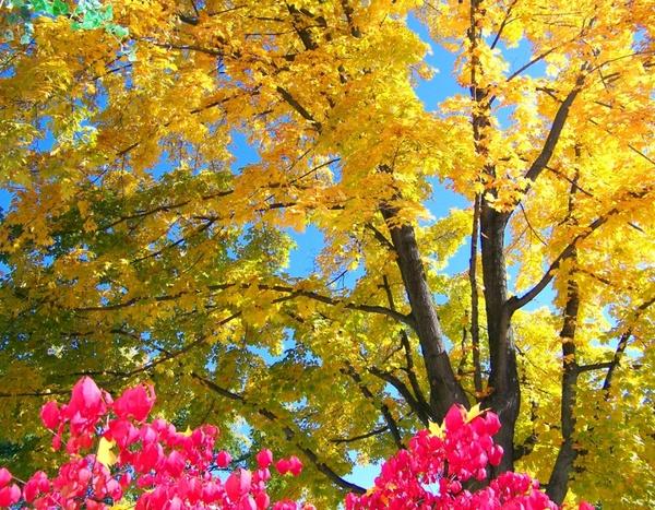 autumn maple tree and burning bush