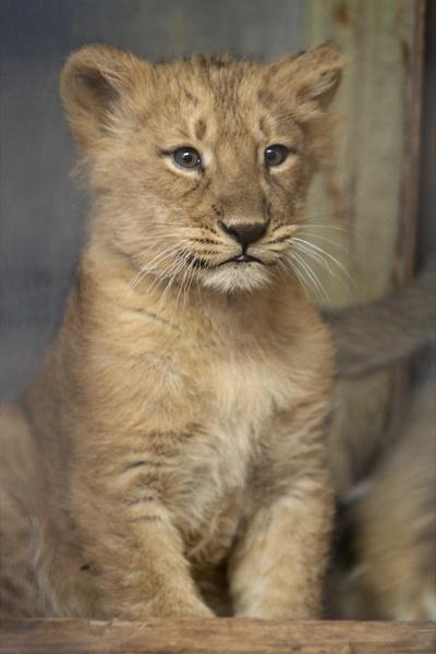 baby lioness naui