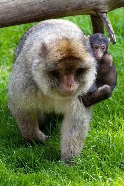 baby monkey holding mom