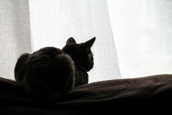 back of cat sitting by window curtains