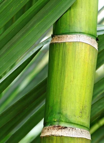 bamboo closeup picture