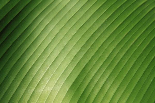 banana leaf detail