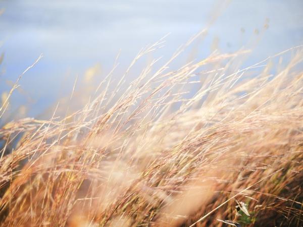 barley blur cereal corn crop ear field gold grain