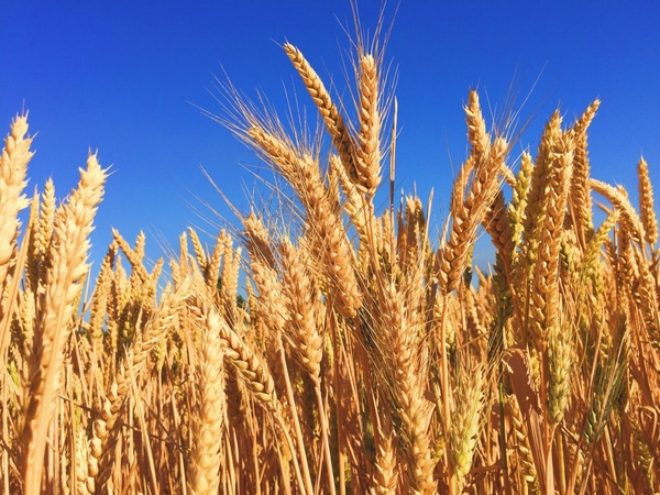 barley bread cereal corn country crop ear farm