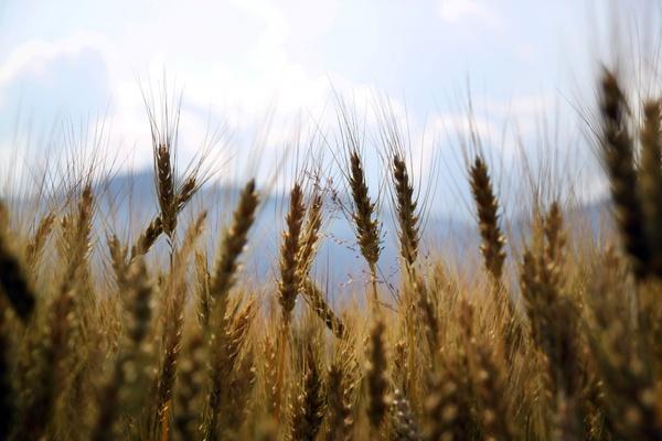 barley bread cereal corn crop daytime ear gold