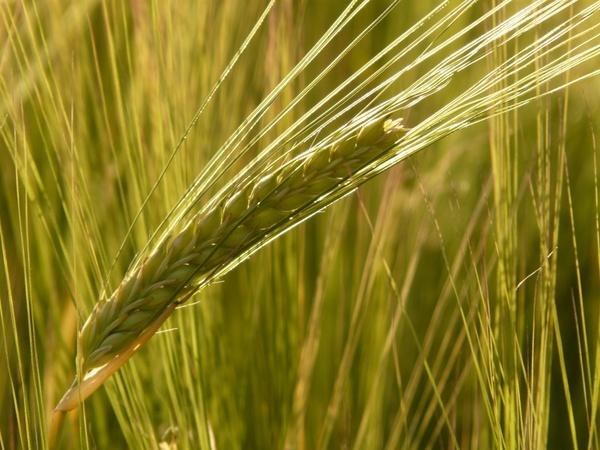 barley field barley cereal