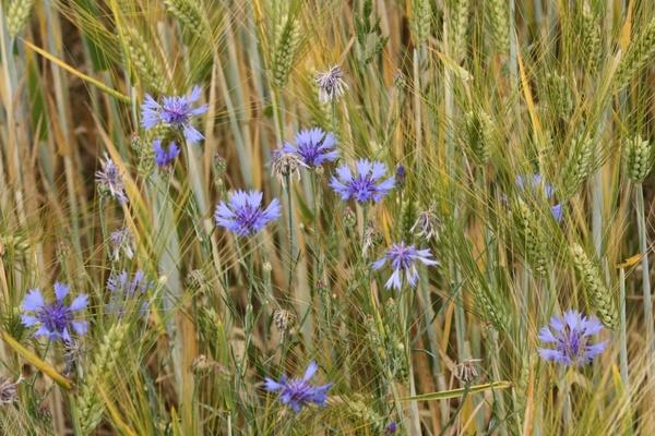 barley field ear field