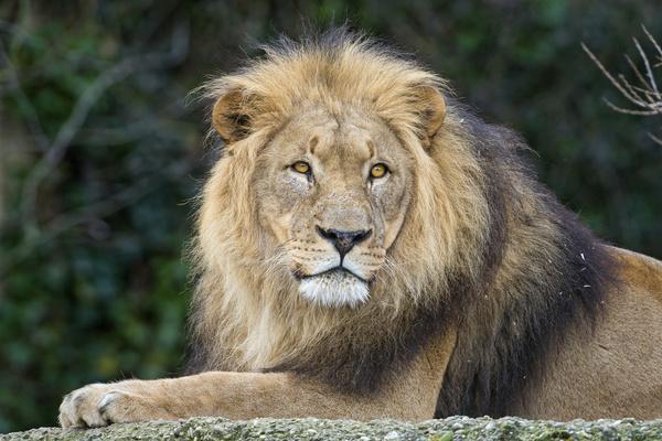 beautiful lion dad