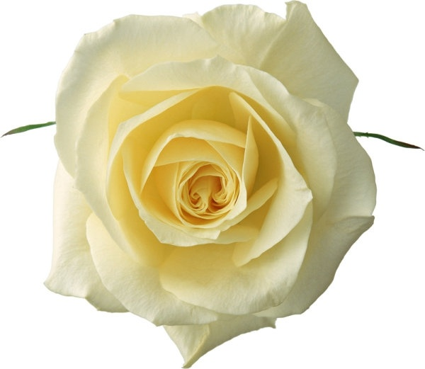 beautiful rose 03 hd pictures