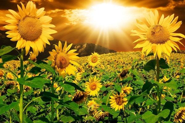beautiful sunflower hd picture 2