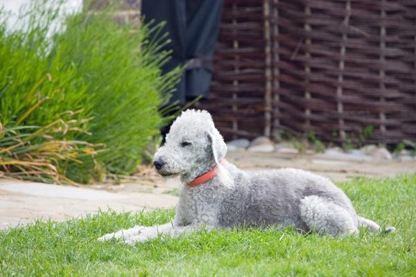 bedlington terrier dog canine