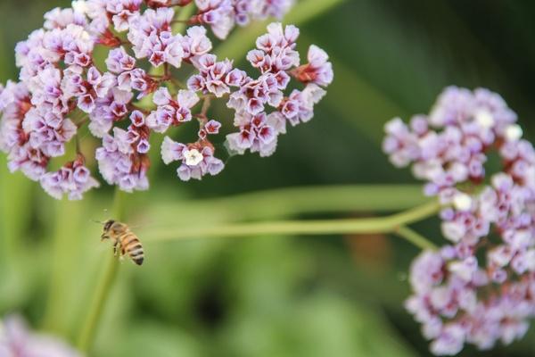 bee by purple sea lavender flowers