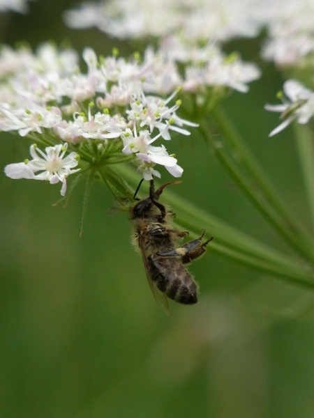 Honey bee pictures free stock photos download (396 Free ...