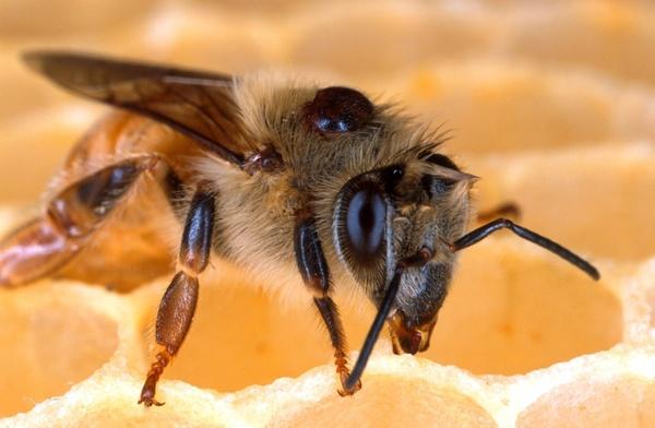 bee honeybee honeycomb