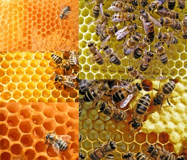 bees and honeycomb highdefinition picture