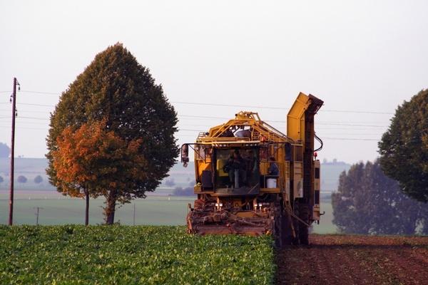 beets sugar beet harvest