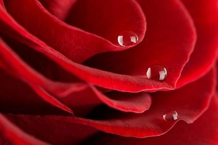 big red roses closeup picture 5
