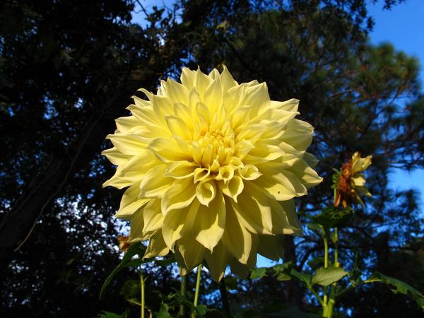 big yellow dahlia