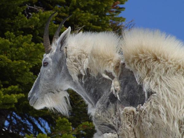 billy goat goat goatee