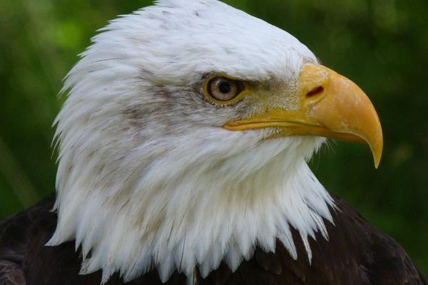 bird bird of prey raptor