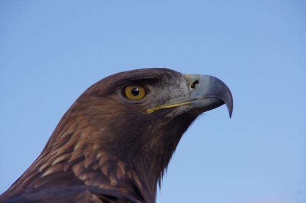 bird raptor adler