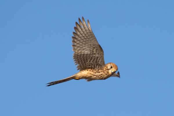 wild owl flying on blue sky