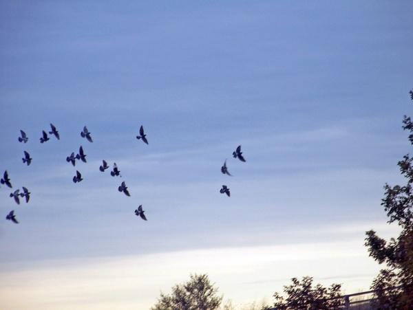 birds in autumn sky