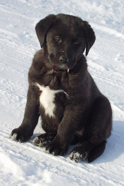Black And White Labrador Puppy Free Stock Photos In Jpeg Jpg