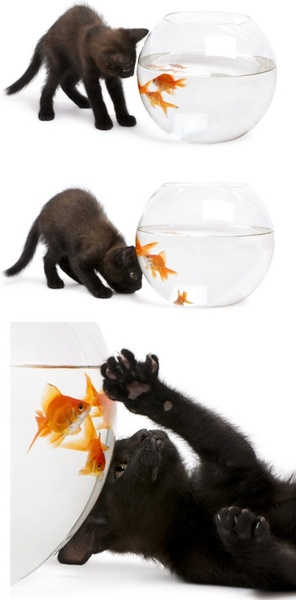 black cat and goldfish hd pictures
