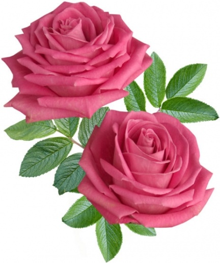 Beautiful Red Rose Wallpaper Download