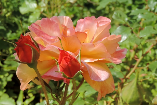 closeup of beautiful roses in garden