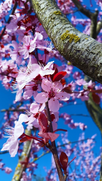 closeup of natural cherry blossom on tree