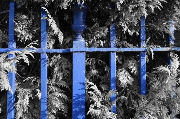blue fence and shrub