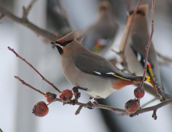 bohemian waxwing bird tree