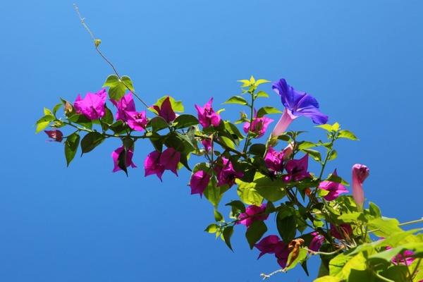 bougainvillea with blue sky