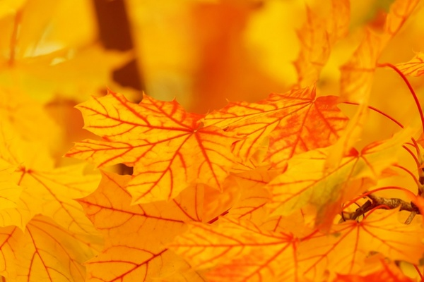bright yellow leaves