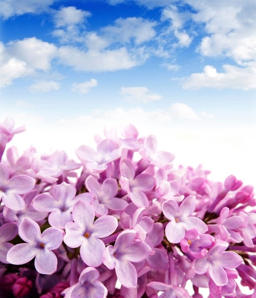 brilliant hyacinth 01 hd picture