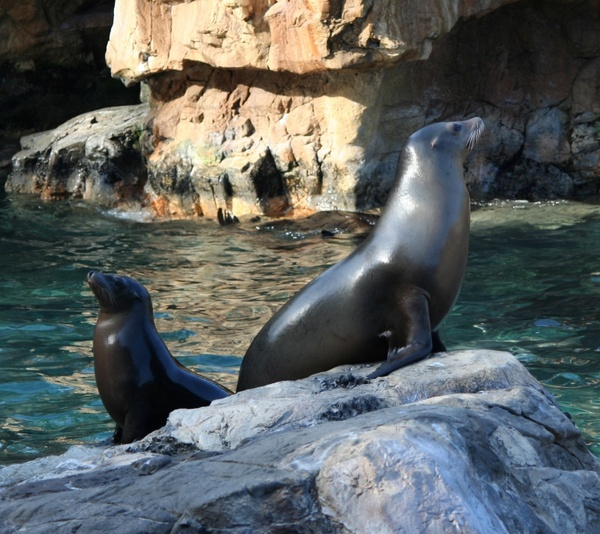 california sealions seals water mammals