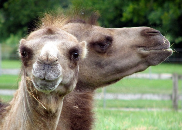 camel face animal