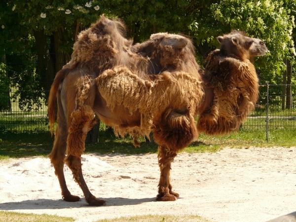camel zweihoeckriges mammal