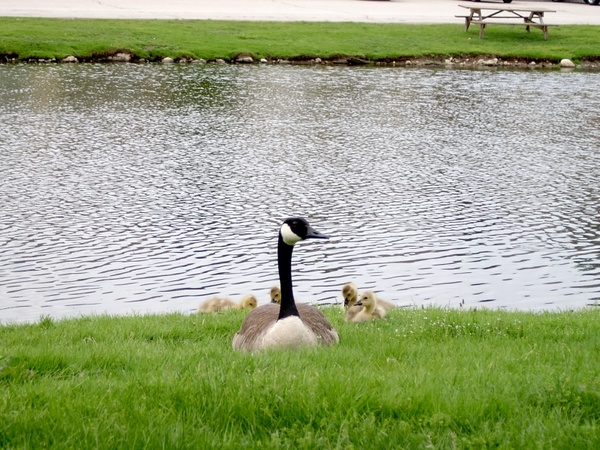 canadian goose mama goose baby geese