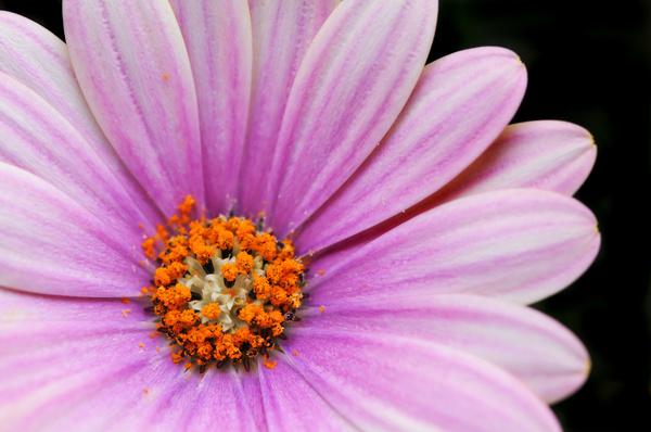 cape daisy 1