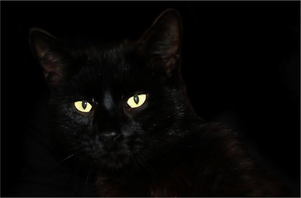 cat black cat pet