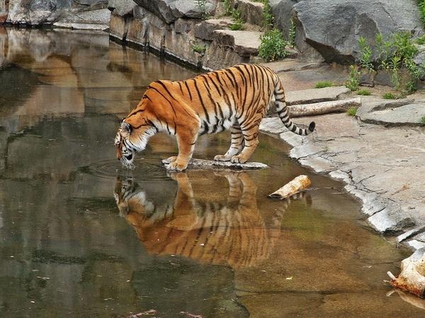 cat pets tiger