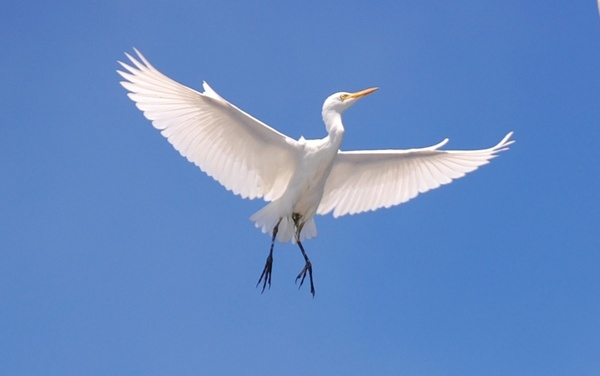 cattle egret bird sky