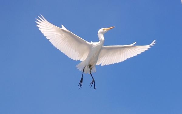 cattle egret bird sky