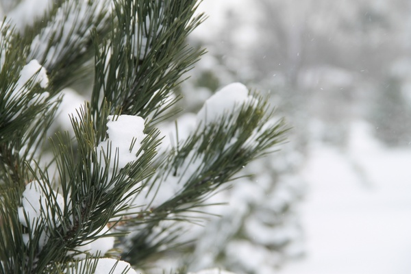 Close up of pine tree needles covered in fresh snow free - Images of pine trees in snow ...