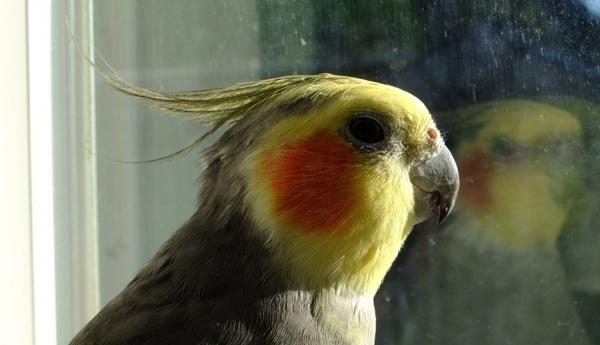 cockatiel gazing