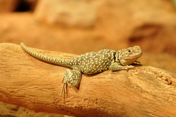 collars lizard lizard reptile