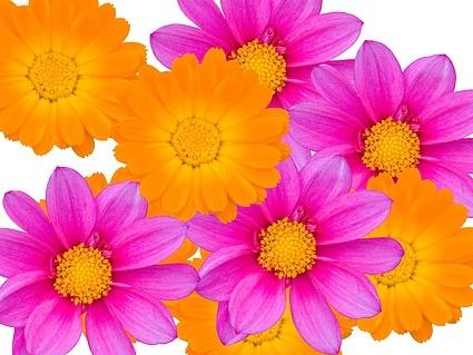 color daisy picture